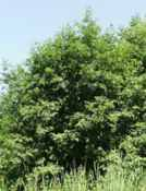 grey alder alnus incana seeds seedling tree