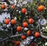 Diospyros Persimmon species at White River Source