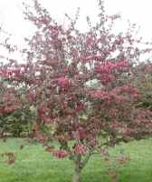 profusion crabapple tree fruit seed seedling