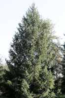 picea abies norway spruce tree seed