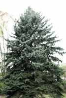 picea pungens colorado blue spruce seed tree