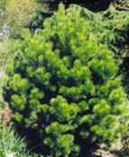 pinus cembroides pinon pine tree seed seedling